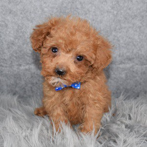 Poodle puppies for sale in RI