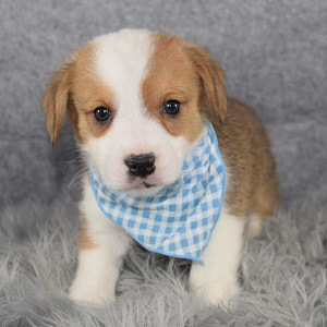 corgi puppies for sale in MD