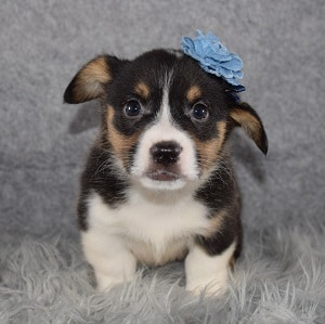 corgi puppies for sale in MA