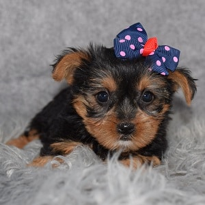 Yorkie puppies for sale in CT