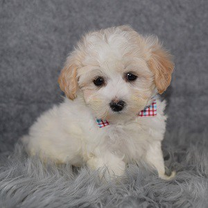 Lhasapoo puppies for sale in MD
