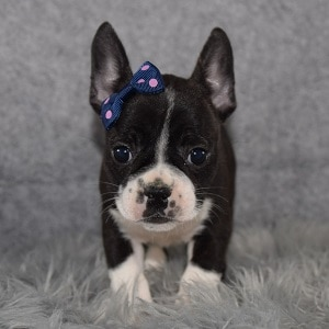 frenchton puppies for sale in NY