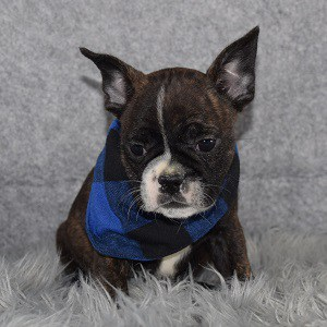 frenchton puppies for sale in Washington DC