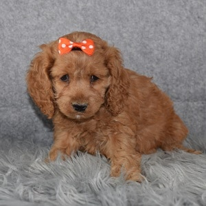 Cockapoo puppies for Sale in MD