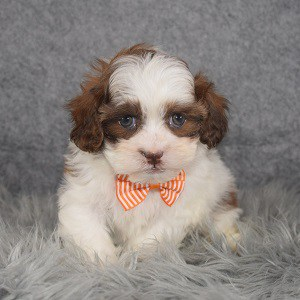 Shih Tzu mix puppies for sale in PA