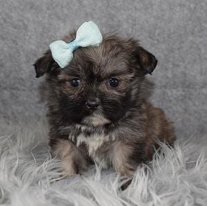 Shih Tzu puppy adoptions in NY