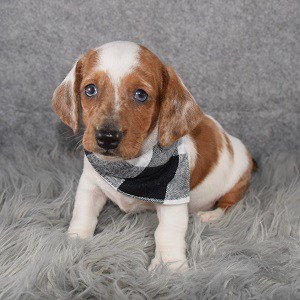 Dachshund puppies for sale in MA