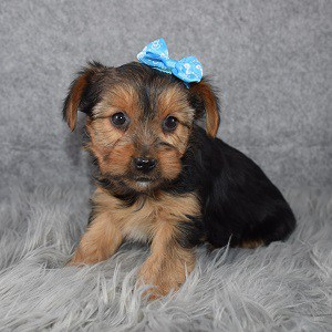 Yorkie puppies for sale in NY