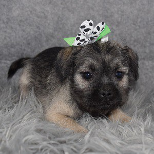 Schnoodle puppies for sale in VA
