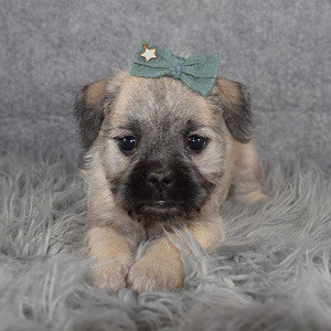 Schnoodle puppies for sale in