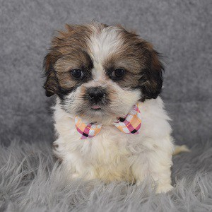 Shih Tzu puppies for sale in MD