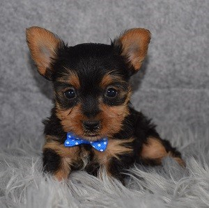 Puppy adoptions in PA