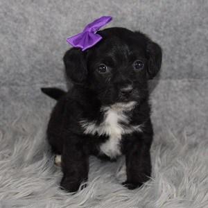 cavalier mixed puppies for sale in DE