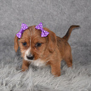 dachshund mixed puppies for sale in NJ