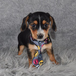 dachshund mixed puppies for sale in PA