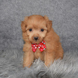 pomapoo puppies for sale in PA