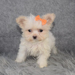 Maltest Puppies for Sale in NJ
