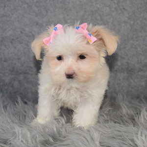 Maltest Puppies for Sale in MD