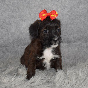 cavalier mixed puppies for sale in RI