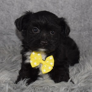 Morkie puppies for sale in VA