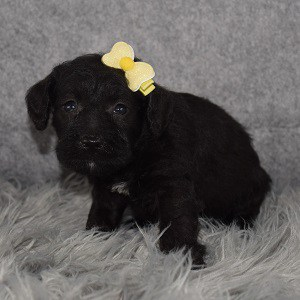 Schnoodle puppies for sale in MA