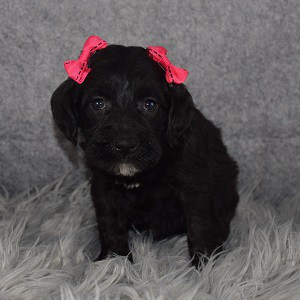 schnoodle adoptions in MD