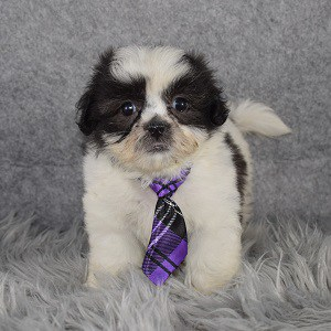 Shichon puppies for sale in CT