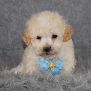 Maltipoo puppies for sale in NY