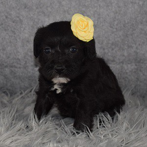 Schnoodle puppies for sale in NJ