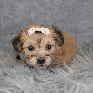 yorkichon puppies for sale in MD
