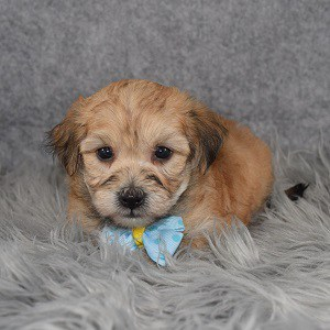 yorkichon puppies for sale in CT
