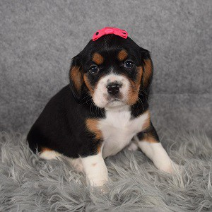 cavalier mixed puppies for sale in CT