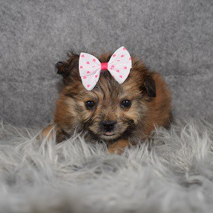 Shih Tzu mix puppies for sale in MD