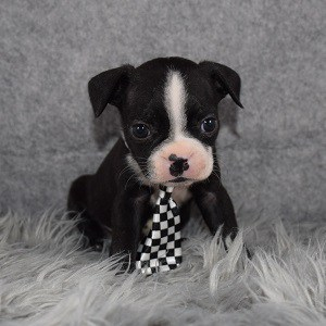 Boston Terrier puppies for Sale in MD