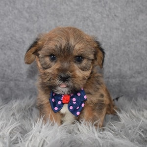shorkie puppies for sale in MD