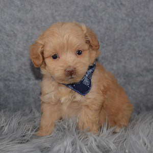 pomapoo puppies for sale in NJ