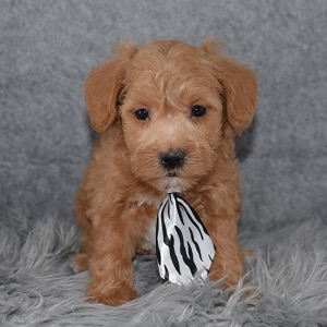 Schnoodle puppies for sale in MD