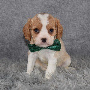 Cavalier puppies for Sale in MD