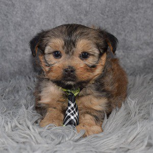 Shorkie puppies for sale in PA