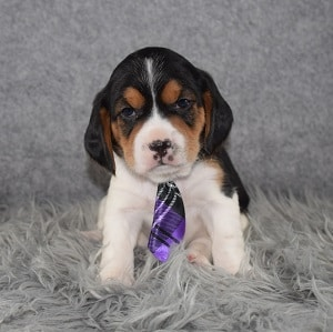 cavalier mixed puppies for sale in NY