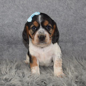 beagle mixed puppies for Sale in MD