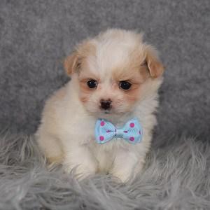 pomapoo puppies for sale in DE