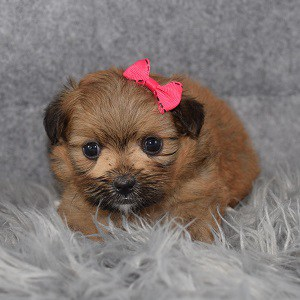 Shih Tzu mix puppies for sale in WV