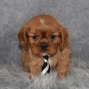 Cavalier puppies for sale in NJ