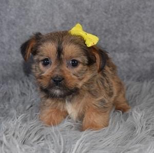 Shorkie puppies for sale in DE