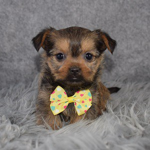 Shorkie puppies for sale in DC