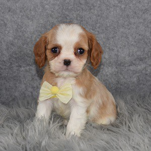 Cavalier puppies for Sale in NY