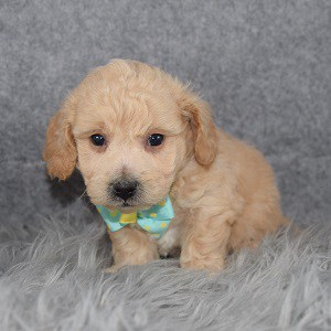 bichonpoo puppies for sale in NY