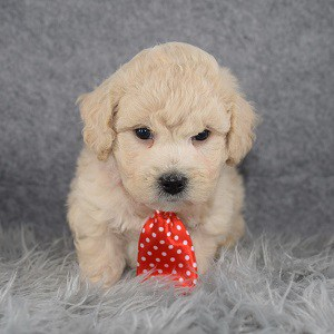 Bichonpoo puppies for sale in DE