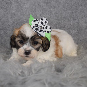 Shichon puppies for sale in ME